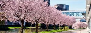 parlement avec cerisiers
